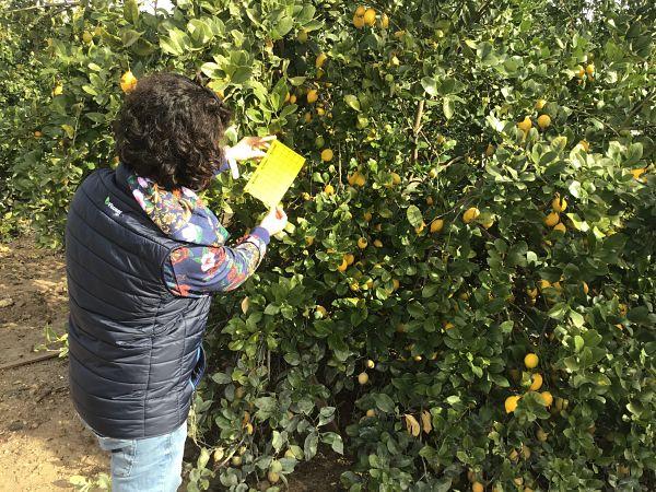 Fitoser agro trampas amarillas biodiversidad cítricos