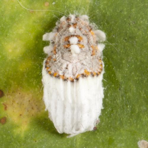 Resultado de imagen de icerya purchasi citricos